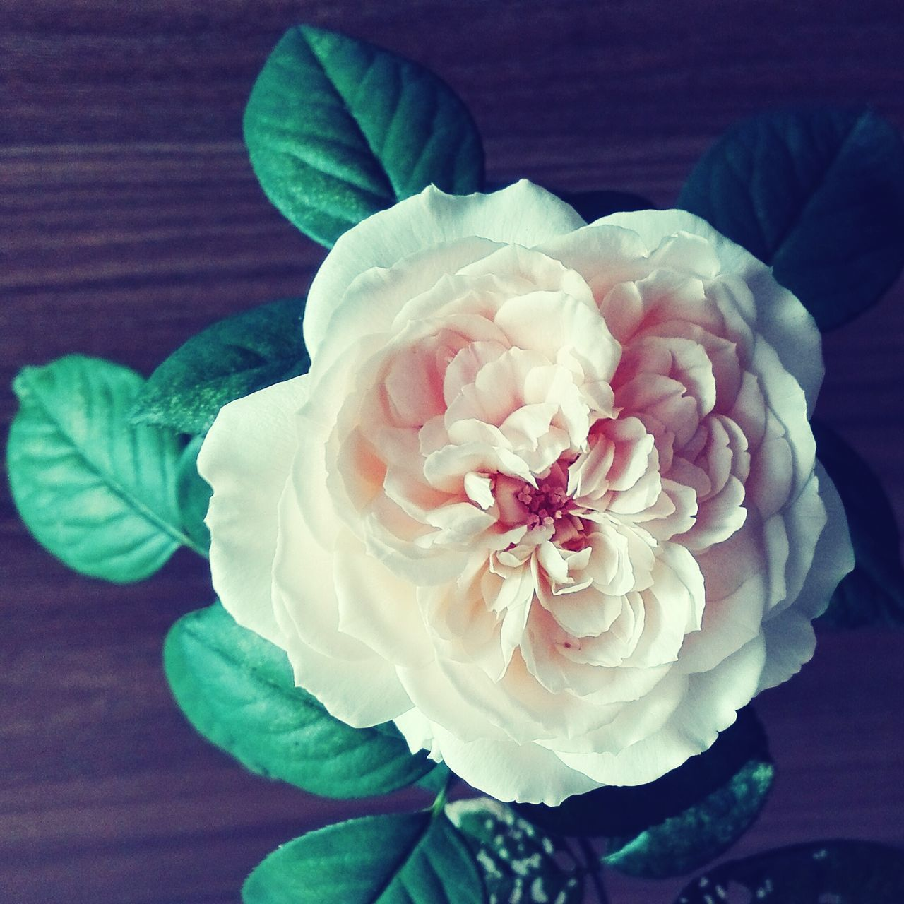 flower, petal, beauty in nature, fragility, flower head, nature, freshness, close-up, plant, growth, leaf, no people, day, indoors, blooming