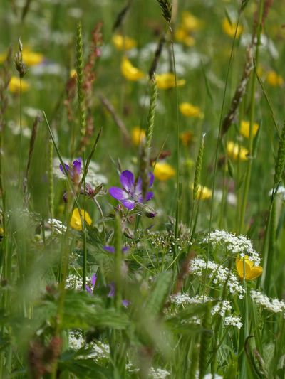Muker Yorkshire Dales flower meadow Flower Meadow Eyem Best Shots Nature_collection EyeEm Nature Lover Eyemphotography Yorkshire Dales Swaledale Plant Flower Flowering Plant Growth Fragility Vulnerability  Nature Selective Focus Beauty In Nature Focus On Foreground No People Freshness Sunlight