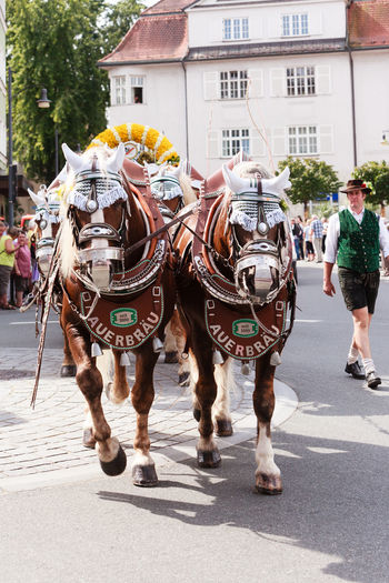 Rosenheim, Germany - September 4, 2016: horse team the AuerBräu brewery at Thanksgiving Parade in Rosenheim / Germany Bavaria Beer Beer Kegs Horses Thanksgiving Brewery Built Structure City Day Domestic Animals Full Length Horse Horse Cart Horse Team Livestock Mammal Men Outdoors People Real People Rosenheim Street Walking Women Working Animal