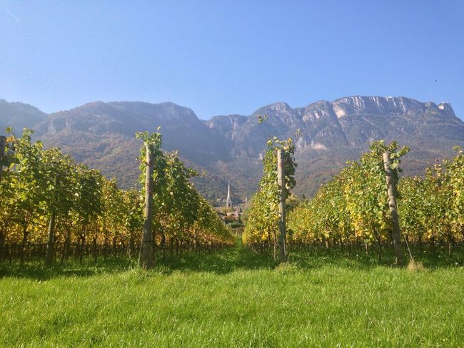 Vineyard Winery Vine Autumn Leaves Autumn Colors Autumn Caldaro Weinstraße South Tyrol Italy Trentino Alto Adige Alto Adige Südtirol Mountain Nature Beauty In Nature Field Growth Mountain Range Scenics Tranquility Tranquil Scene No People Grass Agriculture Tree Landscape Green Color Outdoors Clear Sky Day Sky