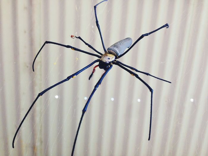 Australia Spider Fuck It Farmwork Australia, Queensland in Innisfail.