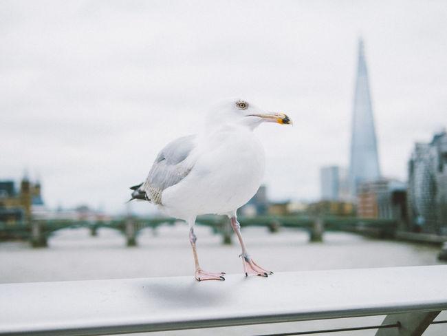 majestic bird Bird Millenium Bridge Perching Seagull The Shard