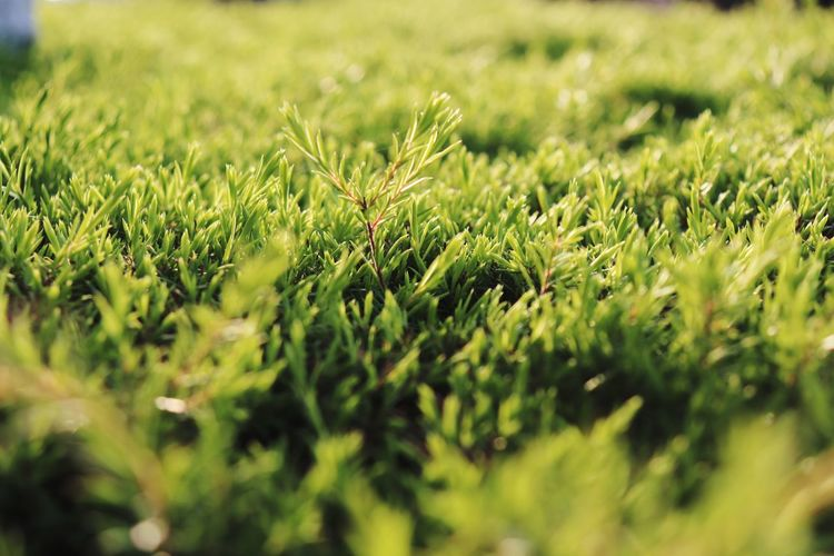 Close-up of green grass on field
