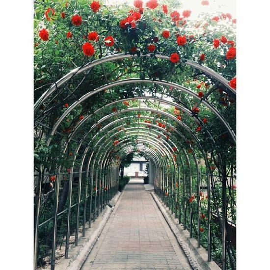 장미 장미덩쿨 아파트단지 꽃스타그램 플라워 flowerstagram ㅎㅎ6월에피는데이번엔좀빨리피었어