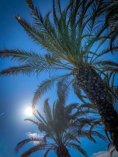 Tree Plant Growth Sky Palm Tree Tropical Climate Low Angle View Beauty In Nature Sunlight Nature Tranquility No People Palm Leaf Day Leaf Clear Sky Trunk Tree Trunk Sun Blue Outdoors Tropical Tree