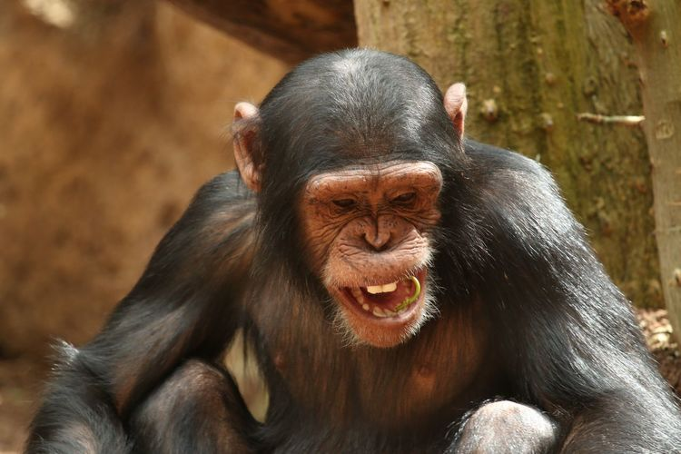 Affe Affen Animal Head  Animal Themes Animals In The Wild Chimpanzee Chimpanzees Close-up Domestic Animals Focus On Foreground Front View Looking At Camera Monkey Monkeys One Animal Portrait Primate Schimpanse Zoology