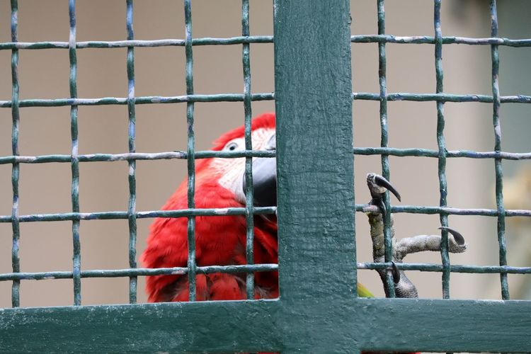 Close-up of scarlet macaw in cage at lisbon zoo