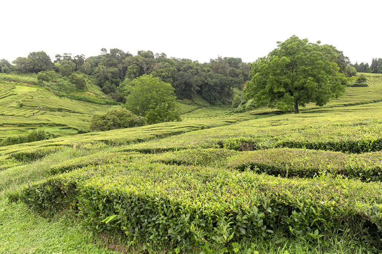 Trees growing amongst hedges of tea at a plantation on Sao Miguel in the Azores. Tea Plantation Azores Portugal Green Production Organic Açores Sao Miguel Destination Europe Atlantic São Brás Agriculture Gorreana Tourism Tranquility Growth Field Landscape Plant No People Nature Black Tea Green Tea