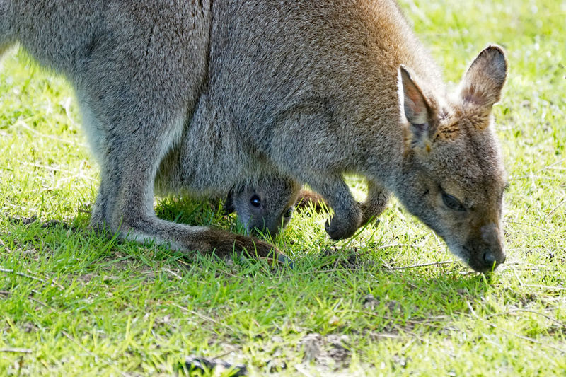 Tierisches Animal Animal Body Part Animal Family Animal Head  Animal Themes Animal Wildlife Animals In The Wild Day Eating Field Grass Group Of Animals Herbivorous Kangaroo Land Mammal Nature No People Outdoors Plant Profile View Two Animals Vertebrate Young Animal