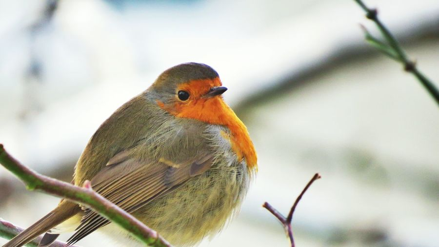 Bird Animal Themes Animal Wildlife Animals In The Wild One Animal Perching Animal Vertebrate Focus On Foreground Robin Tree Branch Plant Day Close-up No People Nature Outdoors Orange Color Beauty In Nature