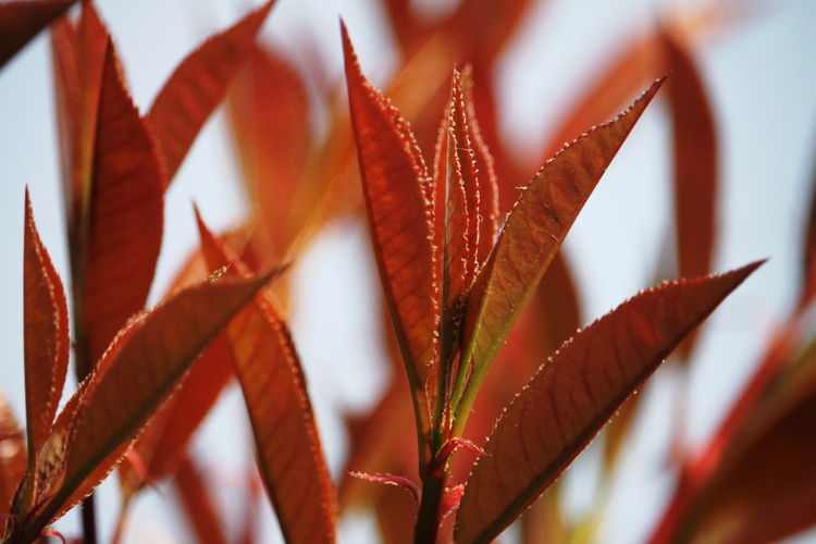 Beauty In Nature Close-up Day Focus On Foreground Full Frame Growth Leaves March 2017 Milano No People Outdoors Plant Red