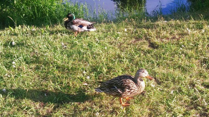 Sherbrooke Ducks Enjoying Life Good Moment Nature Photography Peaceful And Quiet
