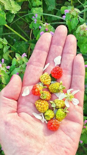 Human Hand Close-up Freshness Flower Head Growth Holding Outdoors Human Finger Flower Plant Leaf Personal Perspective Lifestyles Wild Blackberries Unripe Dew Berries Variation Palm Berry Fruit Multi Colored Healthy Eating Fruit Bunch Ready-to-eat Wild Visual Feast