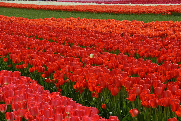 Red tulips on field