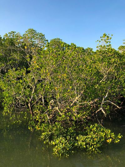 Mangrove in Darwin Harbour, Northern Territory, Australia. Fragile Ecosystem Mangrove Halophytes Rhizophora Rhizophoraceae Plant No People Nature Day Beauty In Nature Green Color Sky Tree Outdoors Clear Sky Tranquility Water