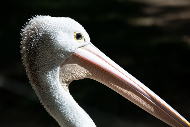 Animal Themes Animal One Animal Animal Wildlife Animals In The Wild Bird Vertebrate Beak Close-up Focus On Foreground Animal Body Part No People Pelican Nature White Color Day Looking Away Outdoors Animal Head  Animal Neck Animal Eye Pelican Birds