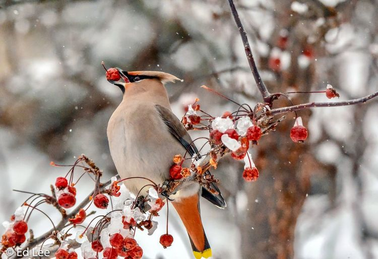 Bohemian Waxwing Bohemian Waxwing Birds Waxwing Birds Of EyeEm  Bird Winter Malephotographerofthemonth Streamzoofamily Minnesota Plant Tree Nature Red Flower Focus On Foreground Flowering Plant Beauty In Nature No People Close-up Animal Themes Berry Fruit