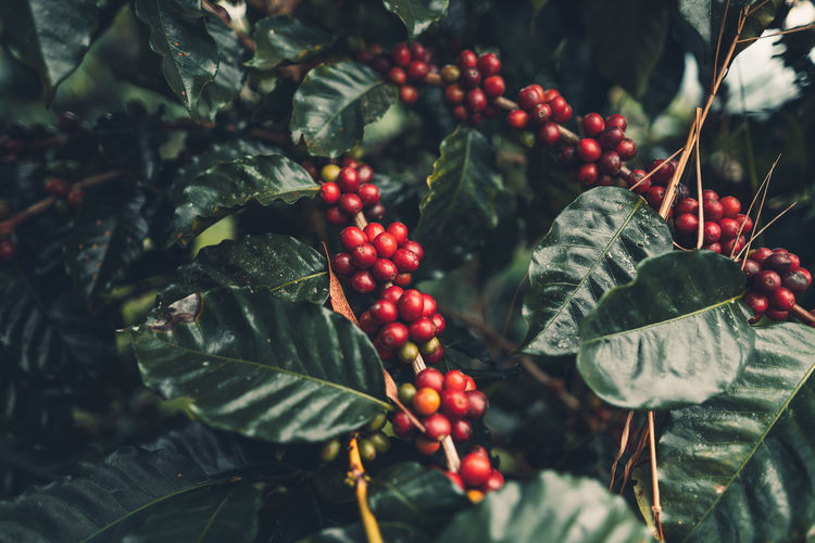 Close-up of red berries growing on coffee plant