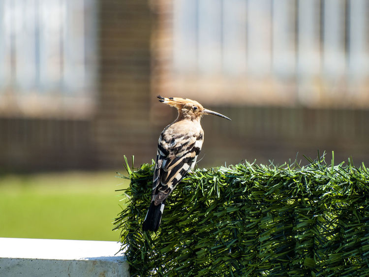 Adapted To The City Animal Themes Animal Wildlife Animals In The Wild Beauty In Nature Bird Bird Photography Birds Close-up Day Environment Focus On Foreground Hoopoe Hoopoe Bird Hoopoes Nature Nature No People One Animal Outdoors Perching Spread Wings Sunlight Upupa Upupa Epops