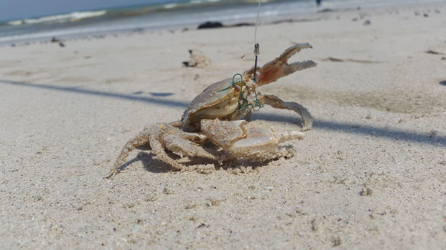 Crab Stuck In Hook On Sand During Sunny Day