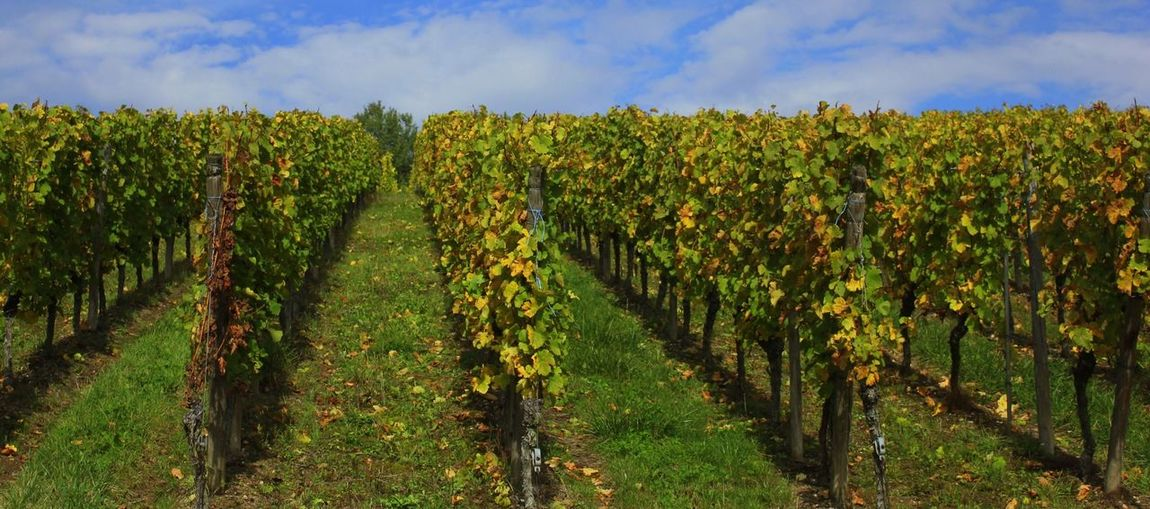 Vineyards Vines Vineyards  Winecountry Grapes Landscapes With WhiteWall
