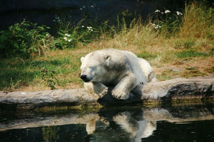 Polar Bear By Lake