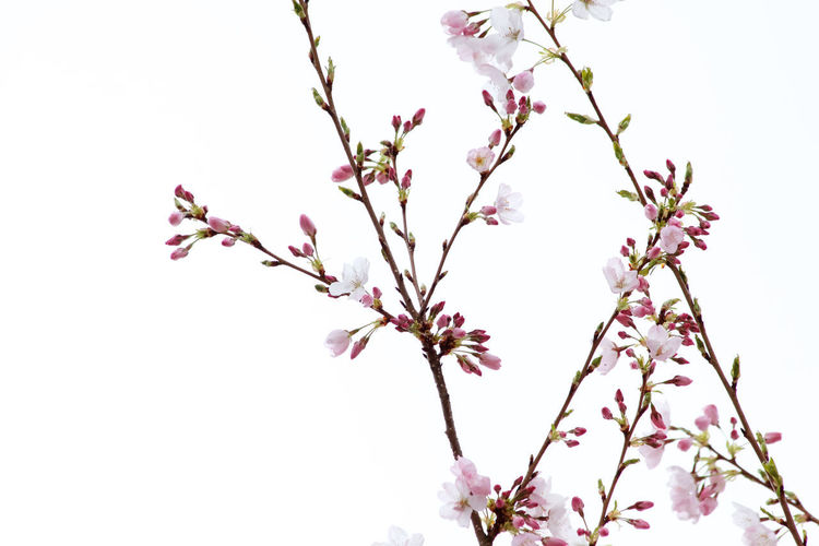 Flowering Plant Flower Plant Growth Freshness Beauty In Nature Fragility Vulnerability  Tree Blossom Branch Pink Color Nature No People Clear Sky Petal Outdoors Cherry Tree Cherry Blossom Spring Springtime