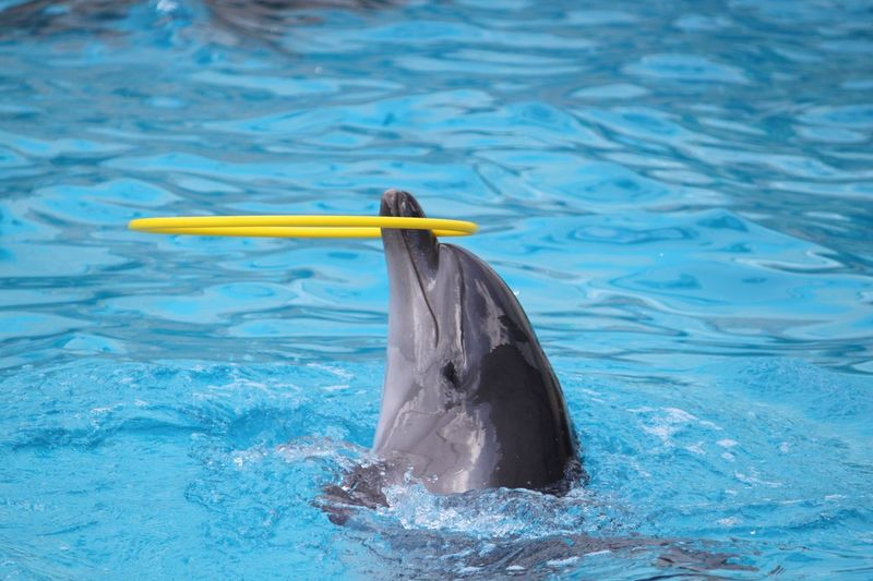 Dolphin Balancing Ring In Swimming Pool