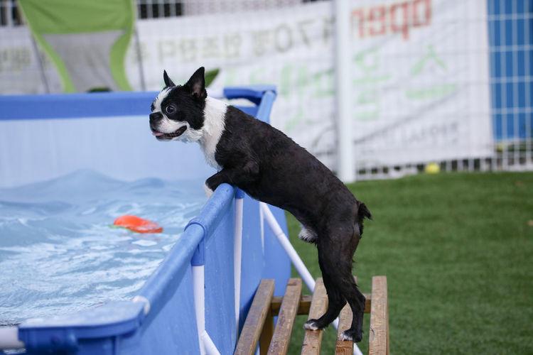Pets Mammal Canine Dog Cute Friendship Family Petfamily Swimming Pool Playground Buldog Frenchbulldog Baby Babydog