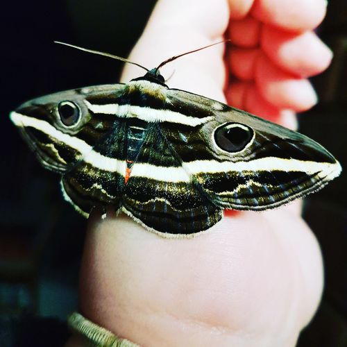 This large moth was visiting me so I kindly escorted him out to door. Lol. So pretty though. Close-up Butterfly - Insect Insect Animal Themes Moth Eyes Nature Beauty In Nature