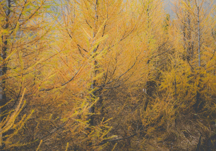 yellow pineforest wonderland Abstract Photography Autumn colors Pine Tatra Mountains Tree Autumn Close Up Forest Forest Photography Land Landscape Minimalism Mountain Nature Nature_collection No People Outdoors Pine Woodland Plant Scenics - Nature Tatra Tree Wonder WoodLand Yellow