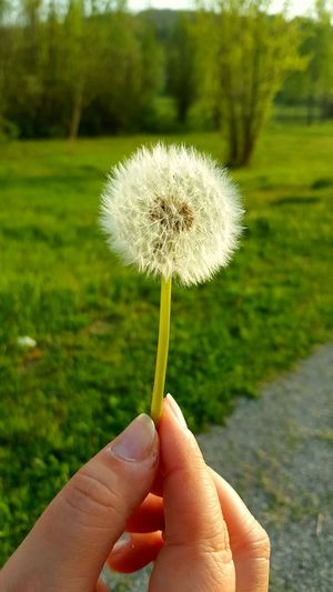 Close-up of hand holding dandelion against grassy field