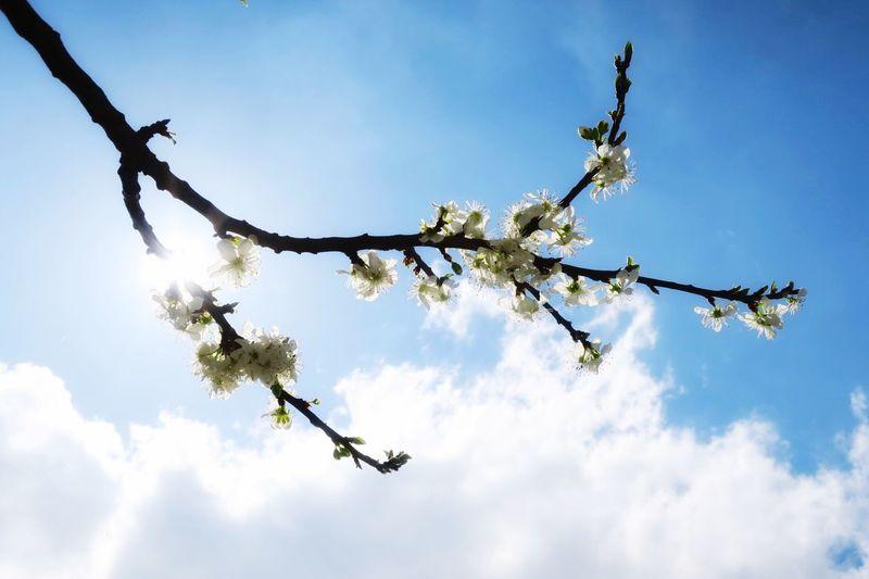 Cherry Tree Cherry Blossoms Cherry Blossoming Tree Blossoms  Blossom Backlit Blossom Blossom And Blue Sky Blossom And Sky Blossom And Sun Spring Lente Voorjaar Kersenbloesem Kriekenbloesem Krieken Kersen