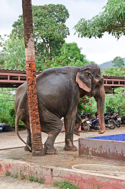 Scratching elephant Elephant Scratching Itching Tree Animal Mammal ASIA Thailand Koh Chang