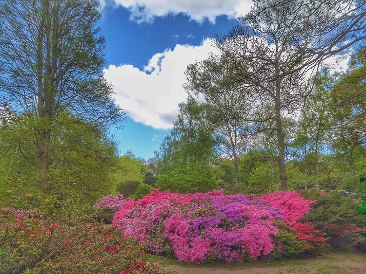 Extraordinary Nature Extraordinary Colors Extraordinary Colours Nature Nature_collection Nature Photography Landscape_Collection Landscape Landscape_photography Colours Of Nature Colours Of Spring Flowers Colourful Flowers Isabella Plantation, Richmond Park Richmond Park, London London Park London Parks