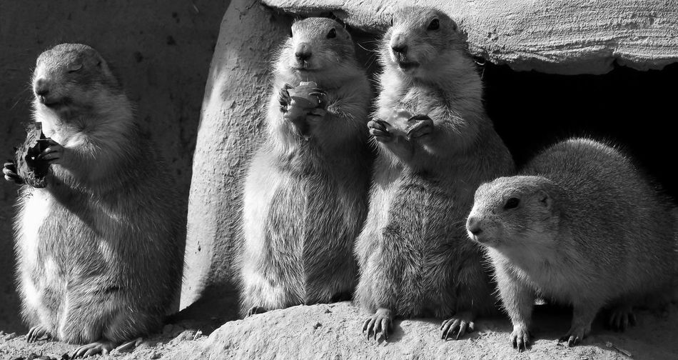 Close-Up Of Marmots On Rock