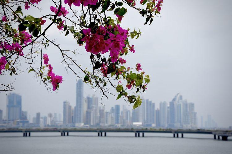 Architecture Blossom City City Life Flower Panamá Skyscraper Urban Skyline