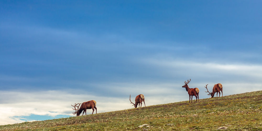 Low angle view of red deer on hill against sky at estes park