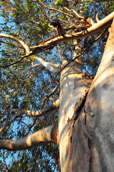 Afternoon Australia Change Gum Trees Leaves Low Angle View No People Outdoors Shade Tree Trunk Trees Nature's Diversities