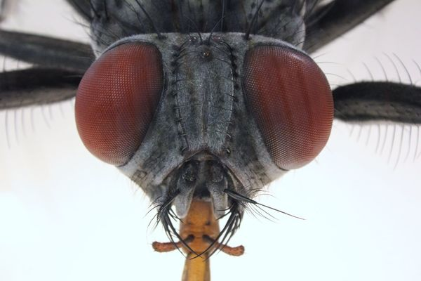 Take a look into my eyes 👀 Macro Insects Augen Kopf HEAD Fly Macro Insect Macro  Insect Photography Fliege Bow Tie Flying Insect Insect Invertebrate Animal Themes One Animal Animal Fly Animal Wing Animal Body Part Close-up Extreme Close-up Animal Wildlife Animal Head  Eye Animal Eye Macro Hair Animal Antenna Body Part Zoology Animals In The Wild