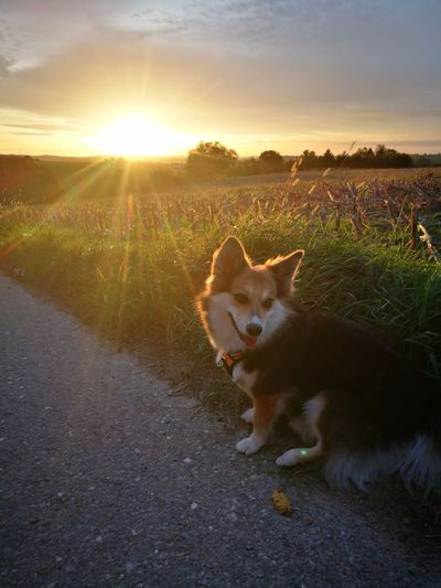 EyeEm Selects Dogs Of EyeEm Emily.♥ Pets Sunset Dog Sunlight Domestic Animals One Animal Animal Summer Sun Outdoors Cute Portrait No People Gold Colored Ear Rural Scene EyeEm Best Shots EyeEmNewHere Animal Themes Grass Beauty Day