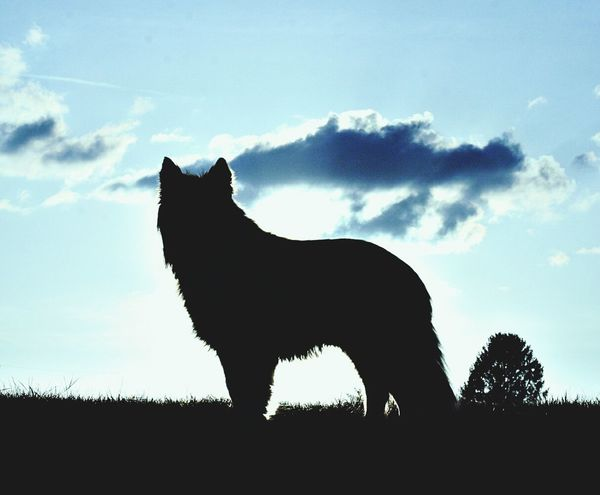 Australianshepherd Silhouette Animal Themes Nature Sky Outdoors Hunde Liebe ♡ Hunde