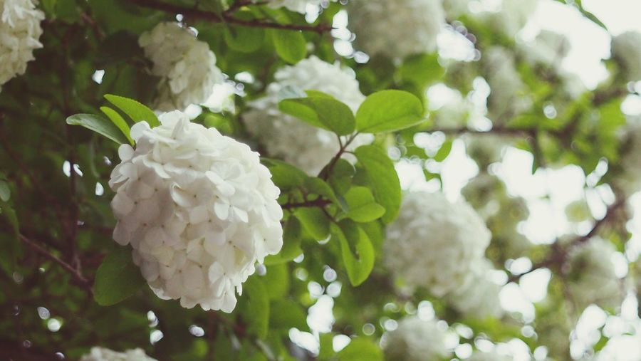 Spring Hello World Springtime Blossom From My Point Of View Flower White Flower White Viburnum Macrocephalum 木绣球 Showcase April 绣球莢蒾