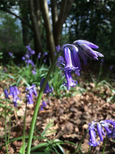 First Eyeem Photo #bluebells #spring EyeEmNewHere #woods Eyeemphotography