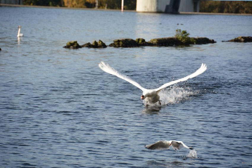 Bird Bird Photography Birds Birds_collection EyeEm Nature Lover Flying Swan Nature Nature_collection Riverside Swan Swans