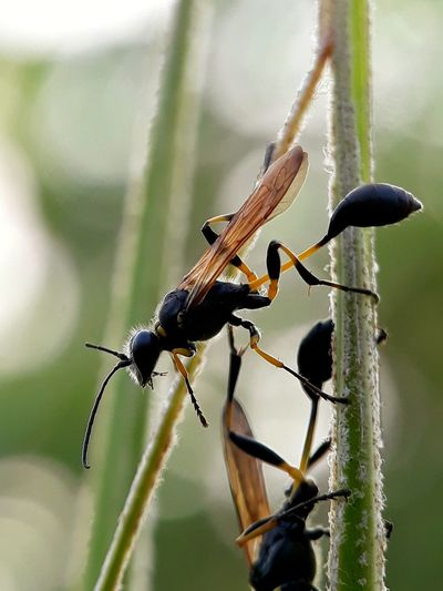 potter wasp Macro Photography Potter Wasp Animals In The Wild Black Color Insect Nature One Animal Outdoors