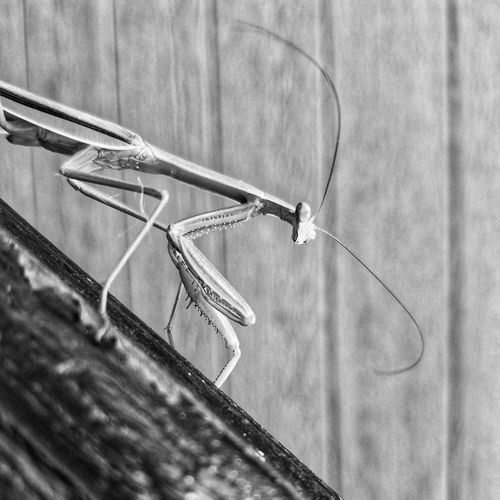 Monochrome Photography No People Close-up Outdoors Day Nature Horizontal Mantis Praying Mantis Eye4photography  Samsung Galaxy S7 EyeEm Gallery Tadaa Community