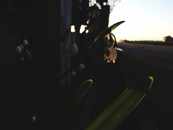Close-up of flower plant at sunset