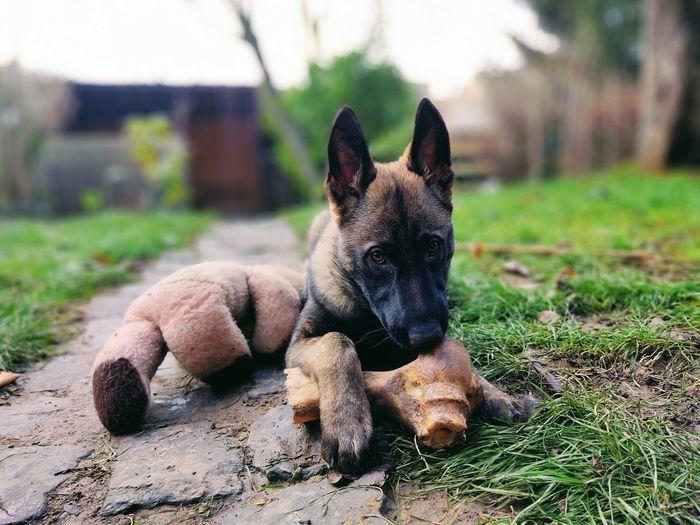 German shepherd puppy dog eating a big bone.