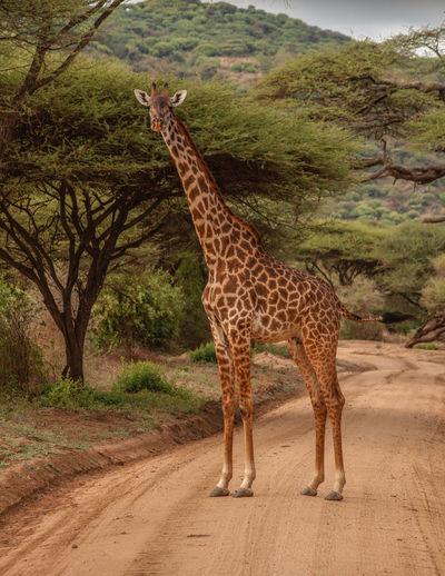 Giraffe standing on road